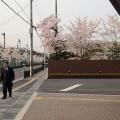 会社前桜並木