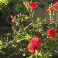 20160513大輪の薔薇