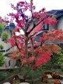 20201216庭木の紅葉