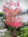 20201206庭木の紅葉